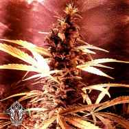 Holy Smoke Seeds Pink Cadillac