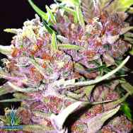 Exotic Genetix Seeds Pink