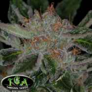 TGA Subcool Seeds Plush Berry