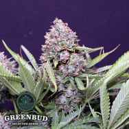 Greenbud Seeds Polar Express Auto