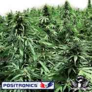 Positronics Seeds Afghan Express