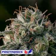 Positronics Seeds Crazy Lazy