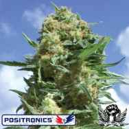 Positronics Seeds Black Widow