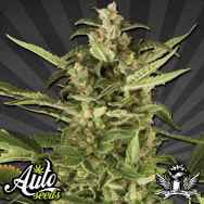 Auto Seeds Juicy Lucy AKA Auto Pounder with Cheese