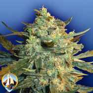 Flying Dutchmen Seeds Power Skunk
