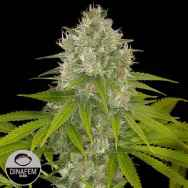 Dinafem Seeds Powerkush