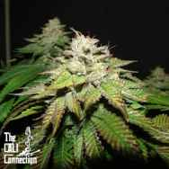 Cali Connection Seeds Pre-98 Bubba BX2