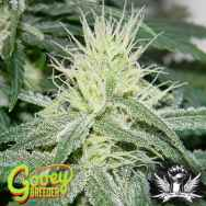 Gooeybreeder Seeds Psychopatch