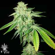 CannaVenture Seeds Pure Ghost OG