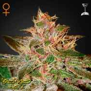 Green House Seeds Pure Kush