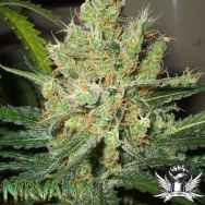 Nirvana Seeds Pure Power Plant