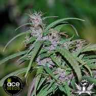Ace Seeds Purple Haze