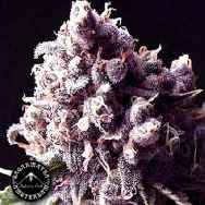 Sagarmatha Seeds Purple Pinecone