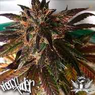 Pheno Finder Seeds Purple Strawberry Bliss S1
