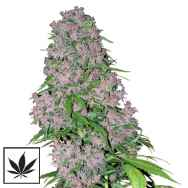 White Label Seeds Seeds Purple Bud