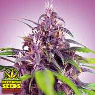 Freedom Seeds Purple Express AUTO