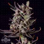 Genofarm Seeds Purple Haze AUTO