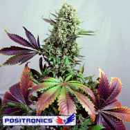 Positronics Seeds Purple Haze #1