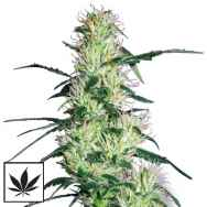 White Label Seeds Purple Haze
