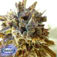 Flash Autoflowering Seeds Purple Mazar