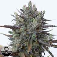 Dinafem Seeds Purple Orange CBD