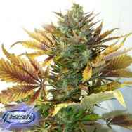Flash Autoflowering Seeds Purple Sirius Kush