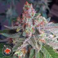 Critical Mass Collective Purple Skunk Mass