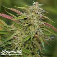 Humboldt Seed Organization Purple Trainwreck