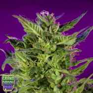 GrandDaddy Purple Seeds Purple Valley OG