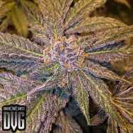 Dungeon Vault Genetics Seeds Purple Vapour