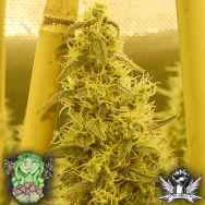 Trichome Jungle Seeds Pursang f4