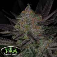 TGA Subcool Seeds Qrazy Train