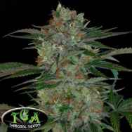 TGA Subcool Seeds Qush