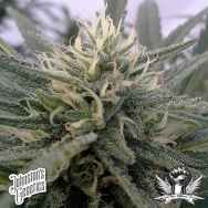 Johnston's Genetics Seeds Rocky Mountain Sour Kush