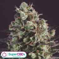 SuperCBDx Seeds Royal Purple Kush x SCBDX