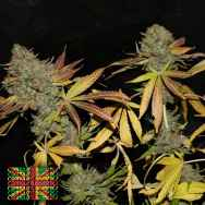 Connoisseur Genetics Seeds Rainbow Jones Haze