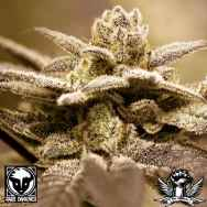 Rare Dankness Seeds Dark Shadow Haze