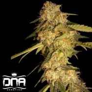 DNA Genetics Seeds ReCon
