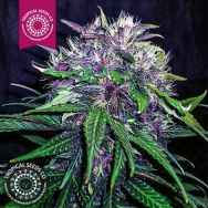 Tropical Seeds Red Afro