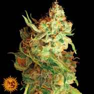 Barneys Farm Seeds Red Dragon