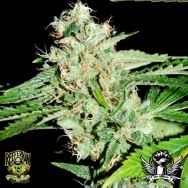 Reeferman Seeds Love Potion #1 x Nigerian