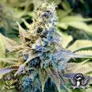 Reeferman Seeds Golden Temple Kush