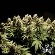 Reeferman Seeds Kodiak Gold