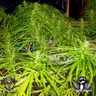 Reeferman Seeds Orange Peako Cambodian