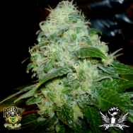 Reeferman Seeds Petrolia Headstash
