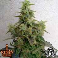 Resin Seeds Dieseltonic