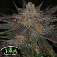 TGA Subcool Seeds Ripped Bubba