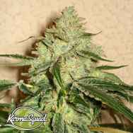 Karma Squad Seeds RoadDawg