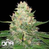 DNA Genetics Seeds RockLock