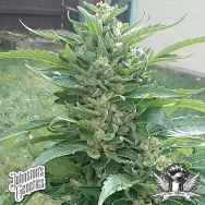 Johnston's Genetics Seeds Rocky Mountain Sweet Kush